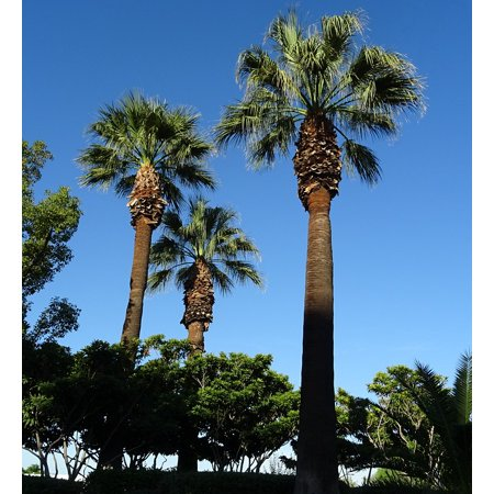 LAMINATED POSTER Palm Desert Fan Palm Washingtonia Filifera Tree Poster Print 24 x 36 (City Of Palm Desert)