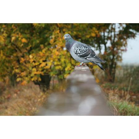 Canvas Print Dove Bridge Nature Animals Autumn Bird Stretched Canvas 10 X 14