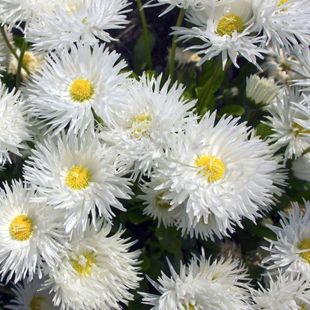 - Crazy Daisy Variety - 1000 Seeds - White Curled Blooms, Yellow Centers - Leucanthemum x superbum - Perennial Daisies, Shasta Daisy Flower.., By Mountain Valley Seed Company Ship from - Center Daisy