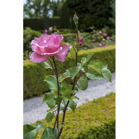 Mateus Rose - Europe, Portugal, Vila Real, Palace of Mateus, Rose in Formal Garden Print Wall Art By Lisa S. Engelbrecht