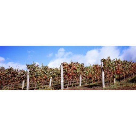 Vines in a vineyard Napa Valley Wine Country California USA Canvas Art - Panoramic Images (18 x 6) - Usa Nap