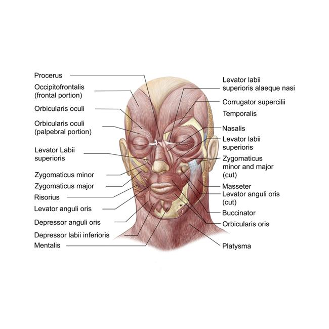 StockTrek Images PSTSTK701234HLARGE Facial Muscles of The Human Face Poster Print, 32 x 24 - Large - image 1 of 1