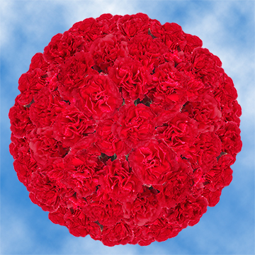 GlobalRose 300 Stems of Fresh Cut Red Spray Carnations - 1200 Blooms - Fresh Flowers For Birthdays, Weddings or Anniversary.