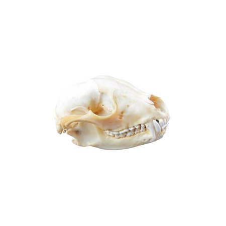 Authentic Raccoon Skull Genuine Real Taxidermy Animal Bones Man Cave Home Bar