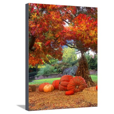 Corn Stalks For Halloween (Halloween Decorations of Pumpkins and Corn Stalks in Front of a Home Stretched Canvas Print Wall Art By John)