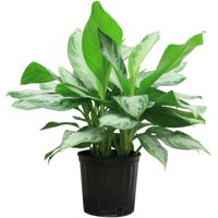 Costa Farms Live Indoor 2ft. Chinese Evergreen, Grower Pot