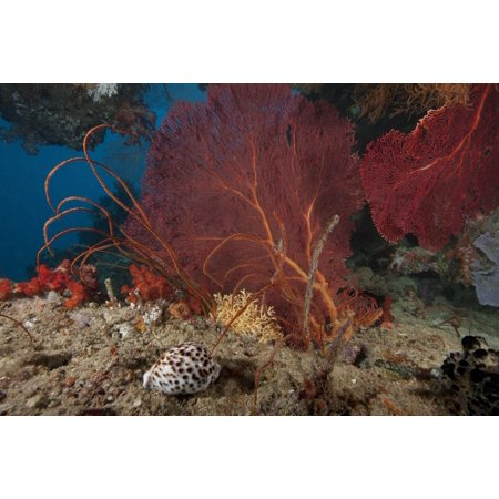 A large red gorgonian sea fan and tiger cowrie in waters off Fiji Canvas Art - Terry MooreStocktrek Images (18 x 12)
