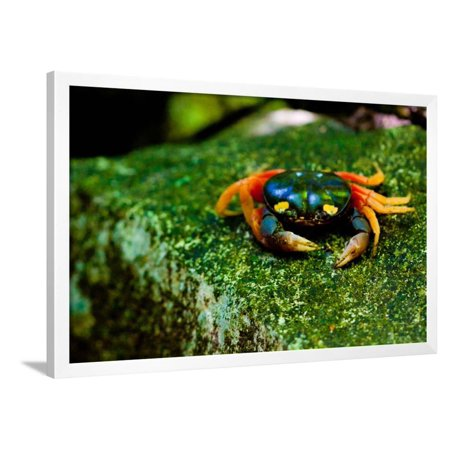 Halloween Crab on Rock in Costa Rica Photo Poster Print Framed Poster Wall Art - Black Crowes Halloween Poster