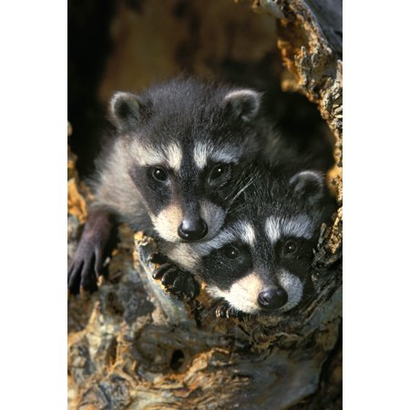 - Raccoon Young (Procyon Lotor) In Tree Hollow Spring Rocky Mountains Stretched Canvas - Thomas Kitchin & Victoria Hurst  Design Pics (22 x 34)