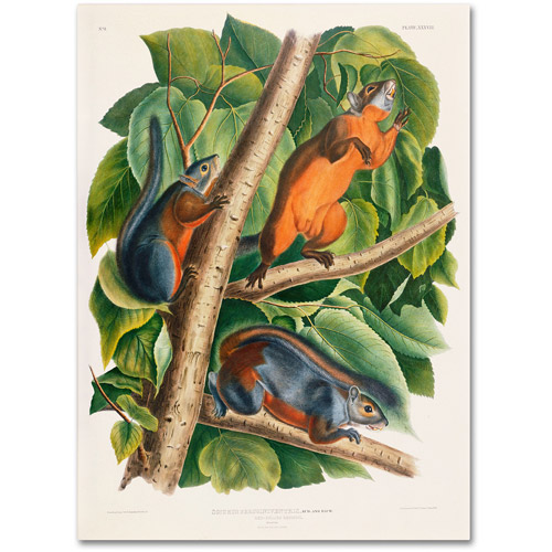 "Trademark Fine Art ""Red-Bellied Squirrel"" Canvas Art by John James Audubon"