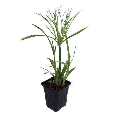 Baby Tut Egyptian Papyrus Plant - Cyperus - Indoors/Out - Live Plant - 4