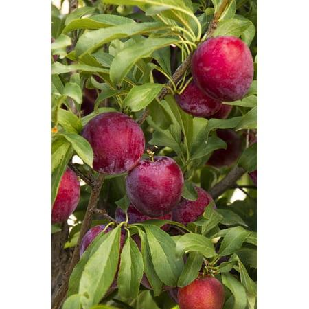 Expert Gardener 3.25G Santa Rosa Plum Fruit Tree
