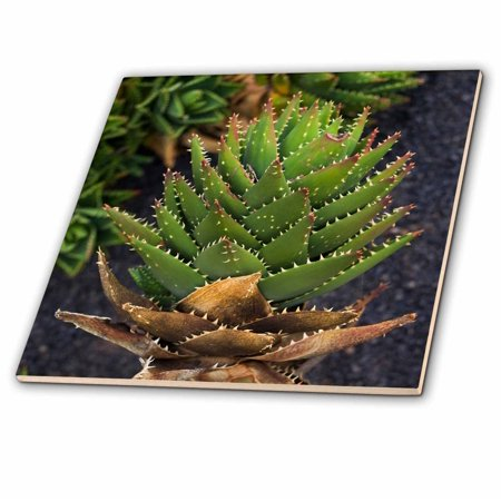 3dRose Spain, Canary Islands, Lanzarote, Guatiza, spiky cactus - Ceramic Tile, 12-inch ()