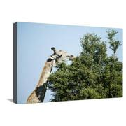 Giraffe Eating from Acacia Tree Stretched Canvas Print Wall Art By Sheila Haddad
