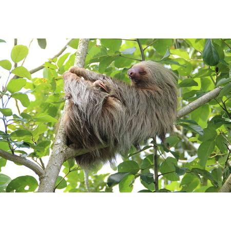 LAMINATED POSTER Costa Rica Rainforest Sloth Poster Print 24 x 36 - Halloween Costa Rica 2017