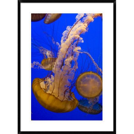 Global Gallery Pacific Sea Nettle Group  Monterey Bay Aquarium  California Framed Photographic Print