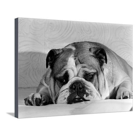 Bruce the Old English Bulldog Not Feeling His Best, November 1978 Stretched Canvas Print Wall