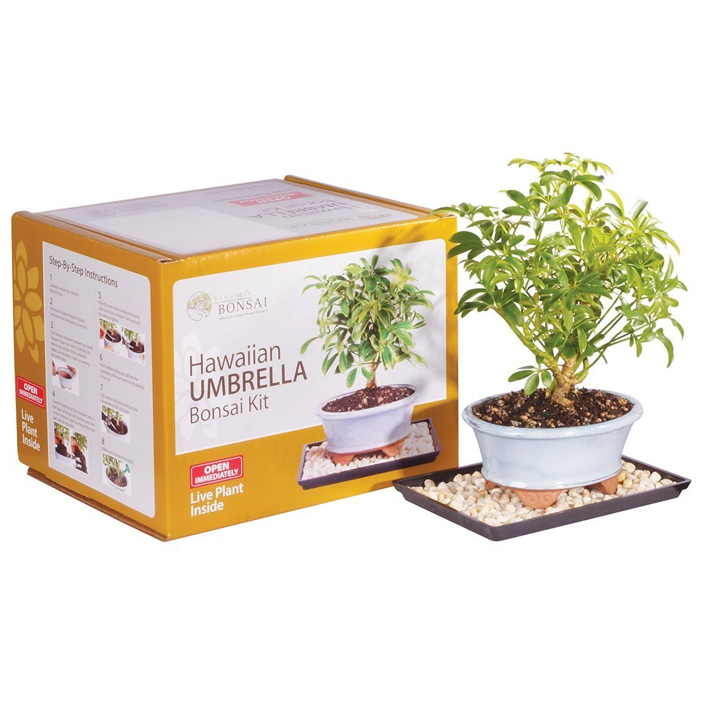Brussel's Hawaiian Umbrella Bonsai Kit (Indoors) by Brussel's Bonsai
