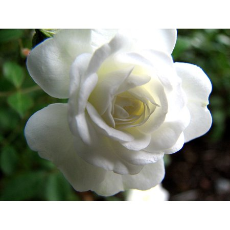 Snow Bride Miniature Rose Bush - Fragrant/Hardy - 4
