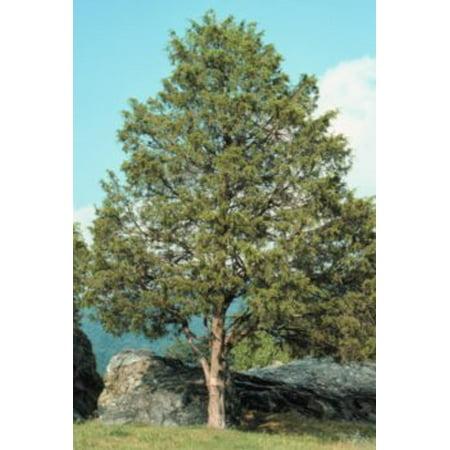 The Dirty Gardener Juniperus Virginiana Eastern Red Cedar Tree seeds