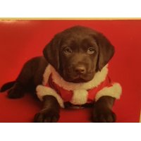 Trimmerry Chocolate Lab Puppy Christmas Cards Holiday Santa Dog