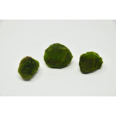 "3 Pack Marimo Ball / Size: 2"" / Aquarium Plant / Easy Care"