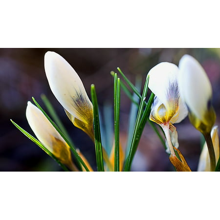Framed art for your wall crocus flower white crocus bulbous flowers framed art for your wall crocus flower white crocus bulbous flowers spring 10x13 frame mightylinksfo