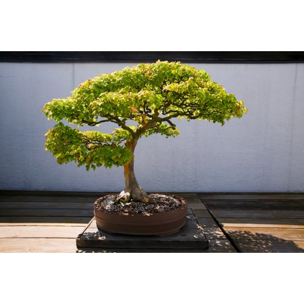 Japanese Bonsai Tree In National Arboretum Washington Dc Poster Print By Panoramic Images Walmart Com Walmart Com