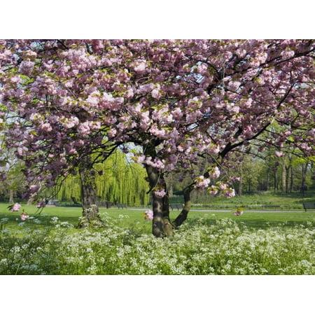 Cherry Tree, in Blossom, Regents Park, London, UK Print Wall Art By Georgette Douwma](Halloween Theme Park Uk)