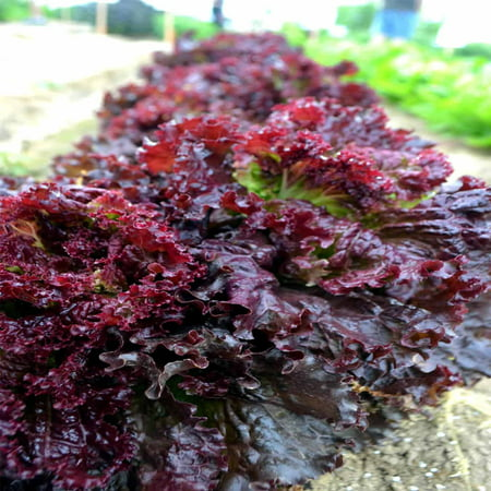 Leaf Lettuce Garden Seeds - Ruby Red - 1 Oz - Non-GMO, Heirloom Vegetable Gardening & Salad Greens Microgreens (Leaf Lettuce)