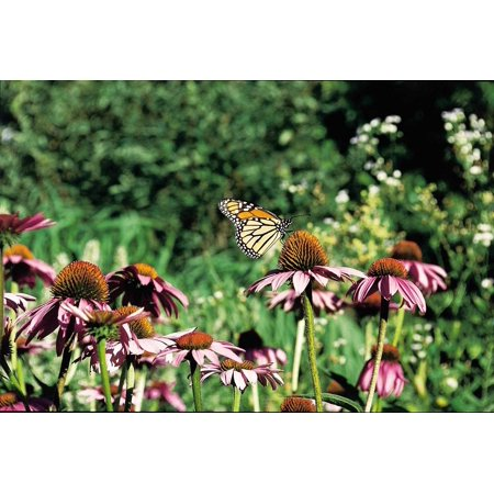 LAMINATED POSTER Blossom Monarch Butterfly Bloom Insect Flower Poster Print 24 x 36