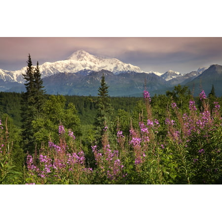 Southside View Of Mtmckinley Wfireweed Southcentral Alaska Summer Along Parks Highway Canvas Art   Jeff Schultz  Design Pics  17 X 11