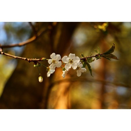 Laminated Poster Cherry Blossoms April Branch Spring Nature Poster Print 11 x 17