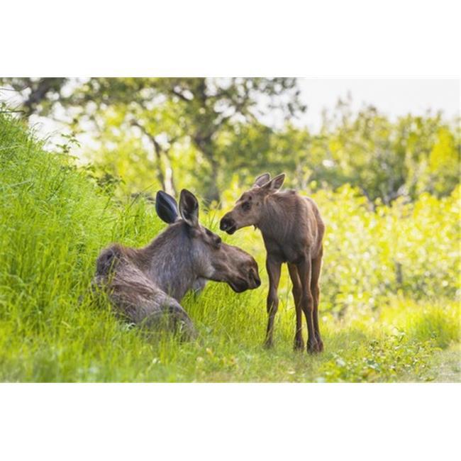 Posterazzi DPI12288655 A Moose Cow & Calf in Kincaid Park Anchorage Southcentral Alaska Summer Poster Print by Michael Jones, 12 x 18 - image 1 de 1