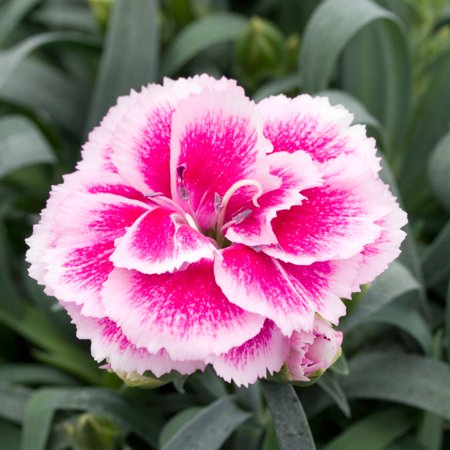 Image of Better Homes Bhg Dianthus Odessa 2.5qt