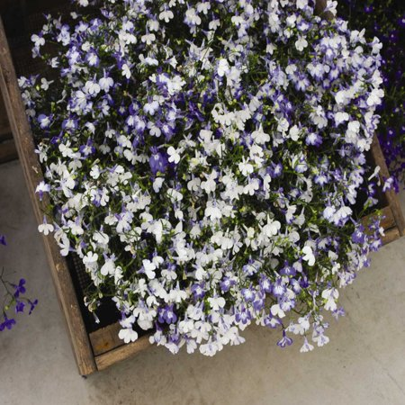 Lobelia Flower Garden Seeds Regatta Series Sky Blue 1000 Seeds