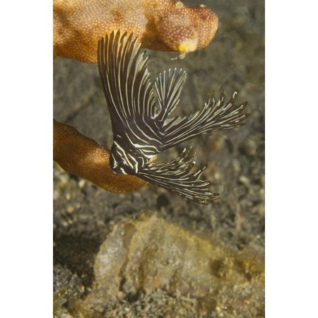 - Batavian spadefish in juvenile form Lembeh Strait Indonesia Poster Print by VWPicsStocktrek Images