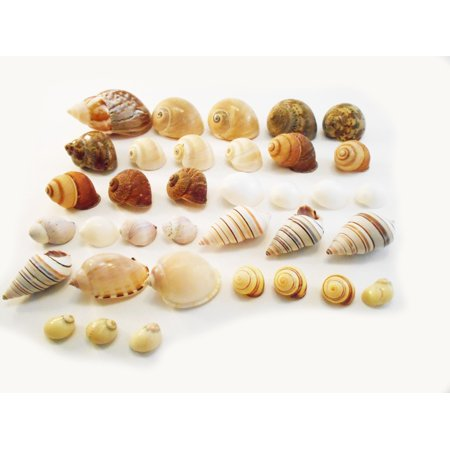 "Select 35 Hermit Crab Shells Assorted Changing Seashells SMALL 1/2""-2"" Size (opening size 1/4"" - 1"") Beautiful"