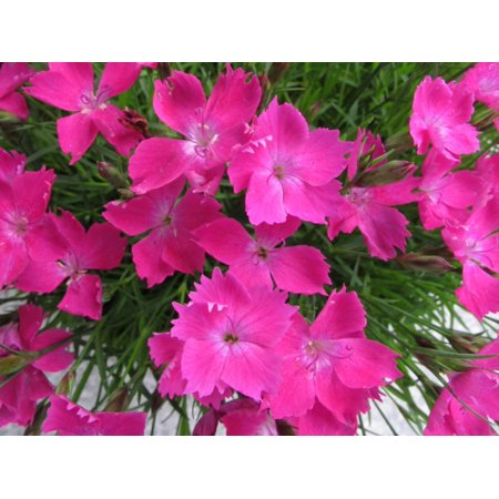 Image of Better Homes 2.5 Qt Bh Dianthus Kahori Cp