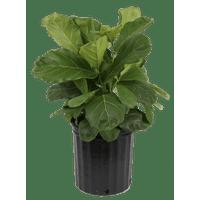 Delray Plants Live 2-Feet Tall Fiddle Leaf Fig Bush in 9.25-inch Grower Pot