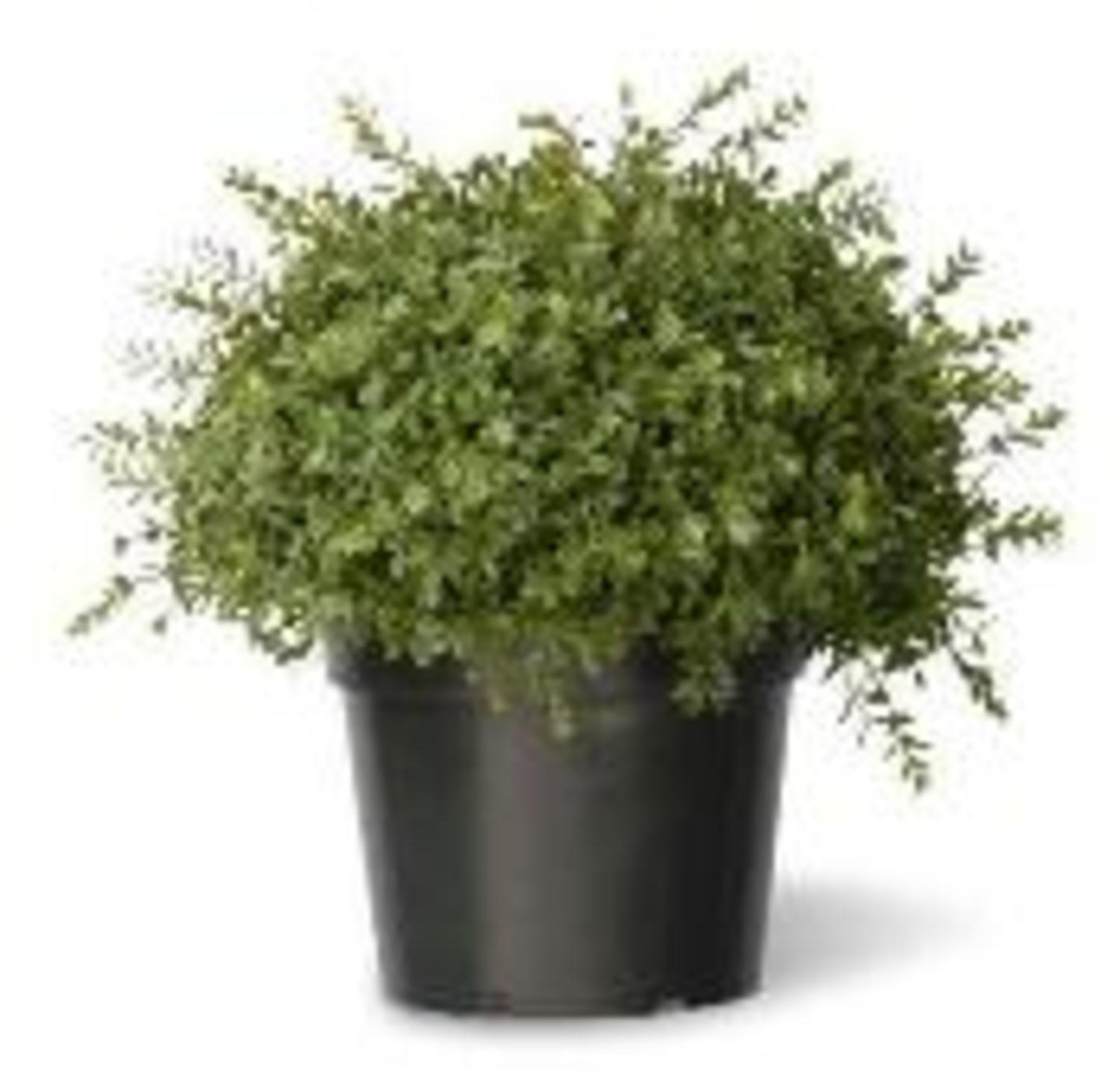 "15"" Artificial Two-Tone Green Mini Leaf Topiary Ball Shrub in Round Green Pot"