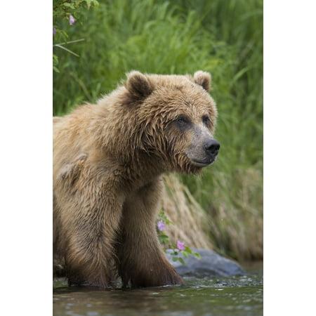 View Of Brown Bear Standing Near The Shore Of The Russian River Kenai Peninsula Southcentral Alaska Chugach National Forest Kenai National Wildlife Refuge Summer PosterPrint ()