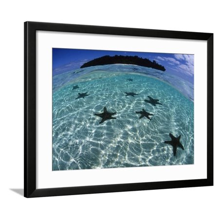 Horned Sea Star in Shallows Framed Print Wall Art By Tobias Bernhard