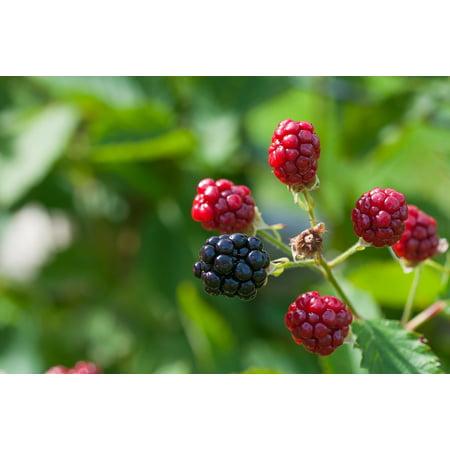 Framed Art for Your Wall Immature Ripe Blackberries Ripening Process 10x13 Frame (Blackberry Bold 9900 Frame)