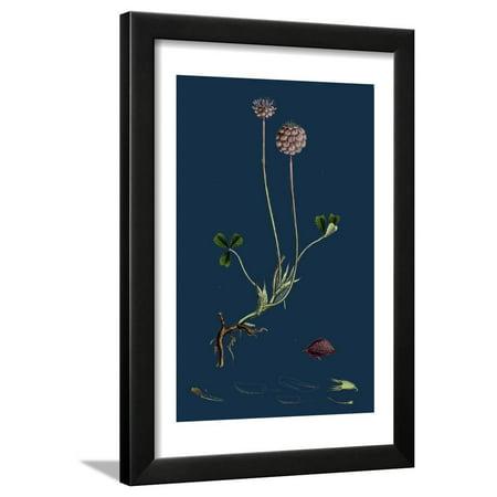 Asperula Taurina; Four-Leaved Woodruff Framed Print Wall Art ()