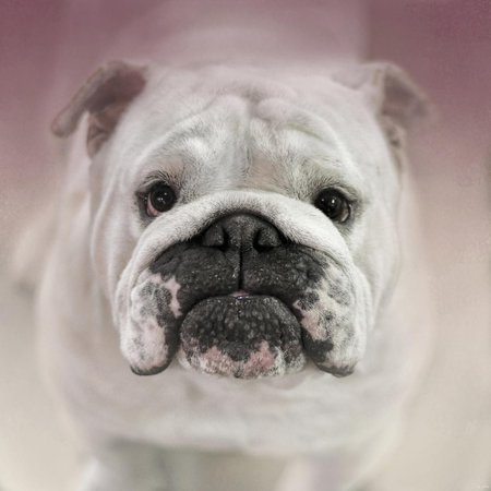 Got Treat Bulldog Puppy Print Wall Art By Jai