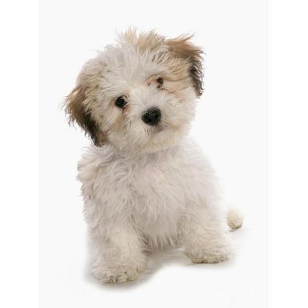 Domestic Dog, Shichon (Shih Tzu x Bichon Frise) designer crossbreed, puppy, sitting Print Wall Art By Chris