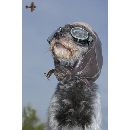 Mixed Breed Dog Dressed In Leather Cap And Aviator Glasses Looking Skyward Canada Alberta Posterprint