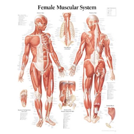 Muscular System Female Chart : Laminated Wall