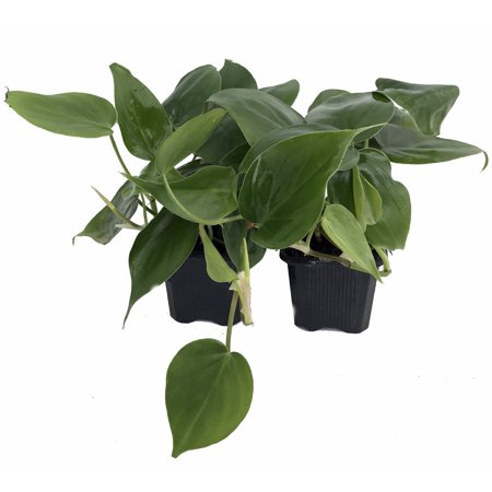 Heart Leaf Philodendron   2 Plants   Easiest House Plant To Grow   3  Pots